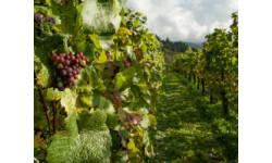 В России сертифицировали первого производителя органического вина.